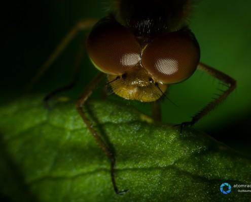 Les yeus de la libellule