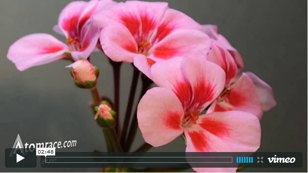 Vidéo accélérée d'une fleur de géranium.